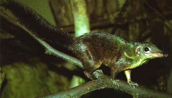 Современные тупайи позволяют нам получить некоторое представление о том, как могли выглядеть ранние приматы.