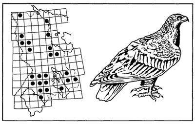Рис. 32. Ареал беркута. Редкий гнездящийся и зимующий вид. Сетка квадратов со сторонами 50×60 км2 (Красная книга Карелии, 1995)