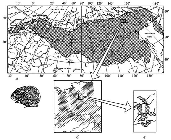 Рис. 34. Различные уровни исследования ареала лесного лемминга (Л.Г.Емельянова, 1999): а -общий ареал лесного лемминга; б -распространение лемминга в среднем течении р. Яны (вид избегает безлесных склонов и вершин хребтов); в -распределение поселений лесного лемминга в зеленомошных лиственничниках