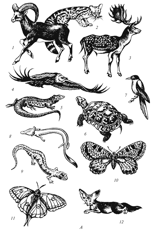 Рис. 57а. Характерные представители фауны области Древнего Средиземья (Г. М.Абдурахманов и др., 2001): А -Средиземноморская подобласть: 1 - муфлон; 2 -генетта; 3 -лань; 4 -белоголовый сип; 5 -жемчужная ящерица; 6 -греческая черепаха; 7 -голубая сорока; 8-протей; 9 -пещерная саламандра; 10-бабочка архон; 11 -шелкопряд изабелла; 12 -фенек;
