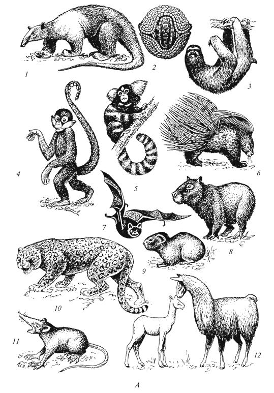 Рис. 58а. Характерные представители фауны Неотропической области (Г. М.Абдурахманов и др., 2001): А -млекопитающие: 1 - муравьед тамандуа; 2 - броненосец; 3 -ленивец; 4 -цепкохвостая обезьяна; 5 - обезьяна игрунка; 6 -древесный дикобраз; 7 -вампир; 8-капибара; 9 -дикая морская свинка; 10-ягуар; 11 - соленодон; 12- лама;