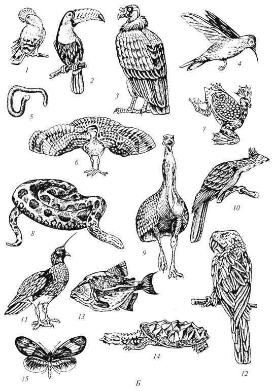 Рис. 58б. Характерные представители фауны Неотропической области (Г. М.Абдурахманов и др., 2001): Б -от птиц до насекомых: 1 - каменный петушок; 2 -тукан; 3 -королевский гриф; 4-колибри; 5- червяга; 6- солнечная цапля; 7- пипа; 8 -анаконда; 9 - нанду; 10 -гоацин; 11 -паламедея; 12 -попугай ара; 13 -пиранья; 14 - черепаха матамата; 15 - бабочка гелеконица