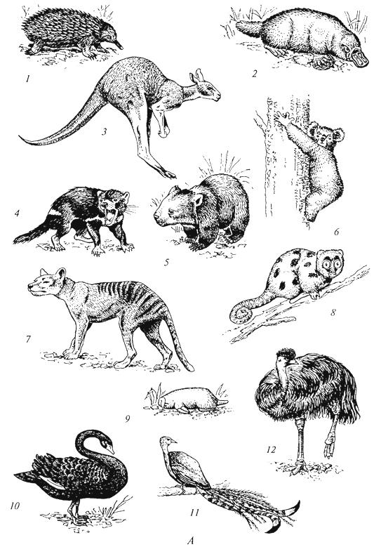 Рис. 59a. Характерные представители фауны Нотогеи (Г. М.Абдурахманов и др., 2001): А - Австралийская область: 1 - ехидна; 2 -утконос; 3 -гигантский кенгуру; 4 -сумчатый дьявол; 5- вомбат; 6 -коала; 7-сумчатый волк; 8 -кус-кус; 9- сумчатый крот; 10- черный лебедь; 11- лирохвост; 12- эму;