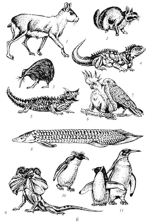 Рис. 59б. Характерные представители фауны Нотогеи (Г. М.Абдурахманов и др., 2001): Б- Австралийская, Новозеландская и Патагонская области: 1 - мара; 2-вискача; 3 -киви; 4-гаттерия; 5- молох; 6-какаду; 7- кеа; 8-рогозуб; 9- плащеносная ящерица; 10-скалистый пингвин; 11 - королевский пингвин