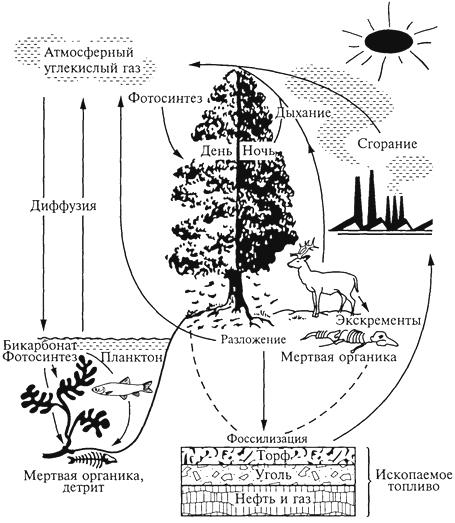 Рис. 3. Круговорот углерода (J.Smith, 1971)