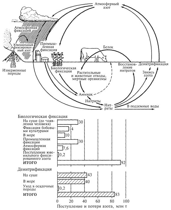 """Рис. 4. Оценка количества фиксированного азота, теряемого и приобретаемого биосферой в различных процессах (П.Дювиньо, М.Танг, 1968). За год в биосферу поступает почти 92 млн т фиксированного азота (не заштрихованные столбики), возвращается в атмосферу в результате денитрификации примерно 83 млн т (заштрихованные столбики). """"Пропавшие"""" около 9 млн т, видимо, откладываются ежегодно в биосфере в почве, подземных водах, озерах, реках и океане"""