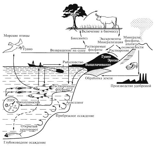 Рис. 5. Круговорот фосфора (Ф. Рамадэ, 1981)