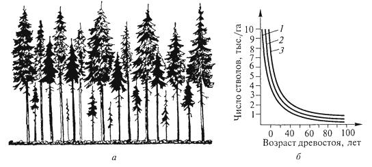 Рис. 7. Самоизреживание в древесных насаждениях: а- господствующие и угнетенные деревья в ельнике; б- ход изреживания стволов с возрастом у сосны (1), березы (2) и ели (3) (Г.Ф.Морозов, 1928)