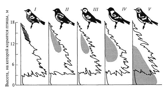 Рис. 9. Локализация мест кормежки пяти видов американских славок: (Dendroica) в еловых лесах штата Мэн (R. H. MacArthur, 1958) I -D. tignna, II - D. fusca, III- D. virens, IV - D. castanea, V- D. coronata