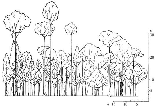 Рис. 13. Профильная диаграмма тропического леса на острове Калимантан, полоса леса длиной около 60 и шириной 8 м, деревья высотой более 7 м (П. Ричарде, 1960)