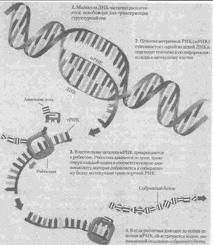 ДНК деление