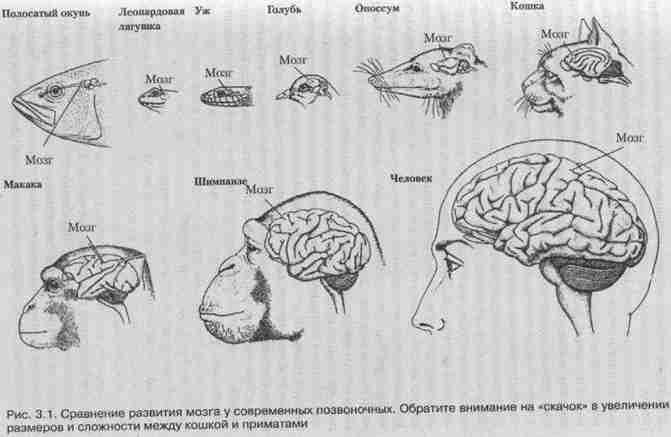 сравнение развития мозга