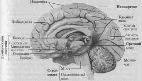 головной мозг человека - вид в разрезе