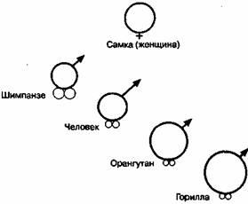 длина пениса и размер яичек
