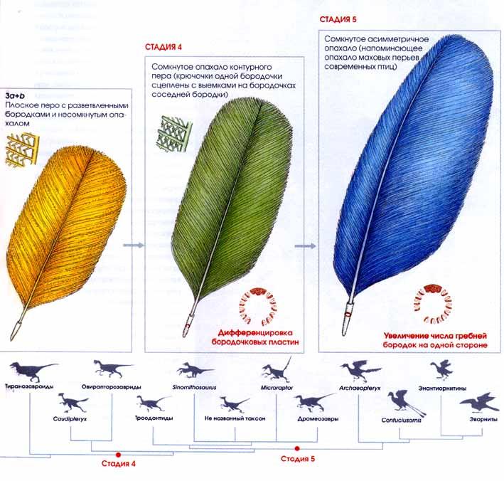 в процессе эволюции перо
