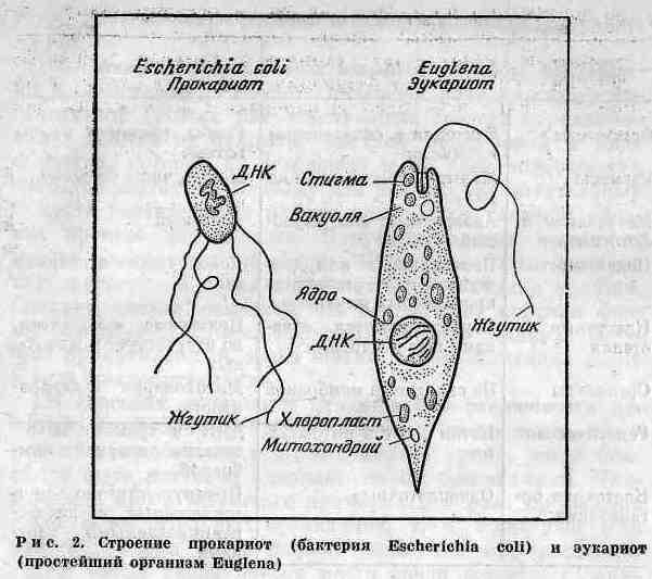 прокариот и эукариот.