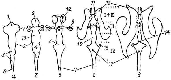 Схема развития мозговых