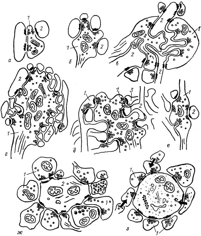 Синаптические комплексы различного вида в структурах нервной системы млекопитающих. а-е - дивергентные комплексы в...